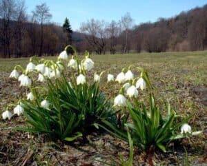 Bledule jarní v Rakoveckém údolí